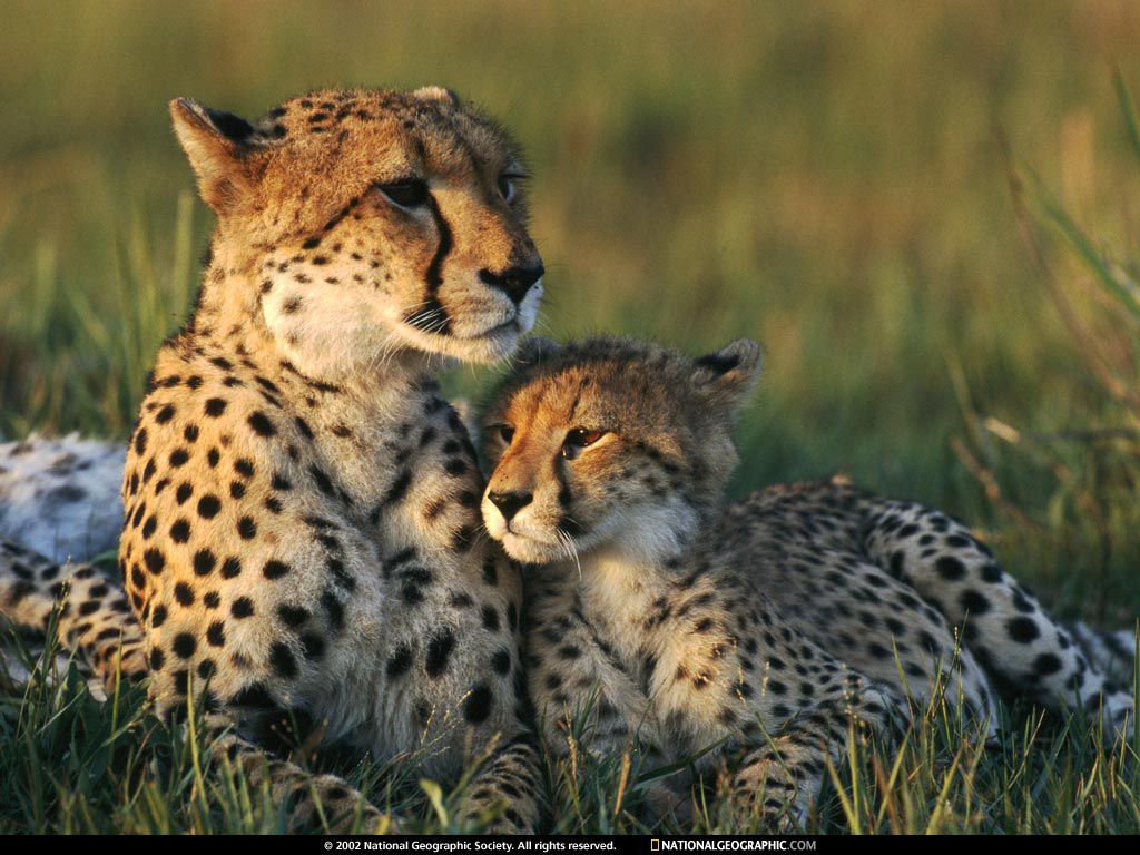 Wallpaper download national geographic - Animals National Geographic Wallpaper Download