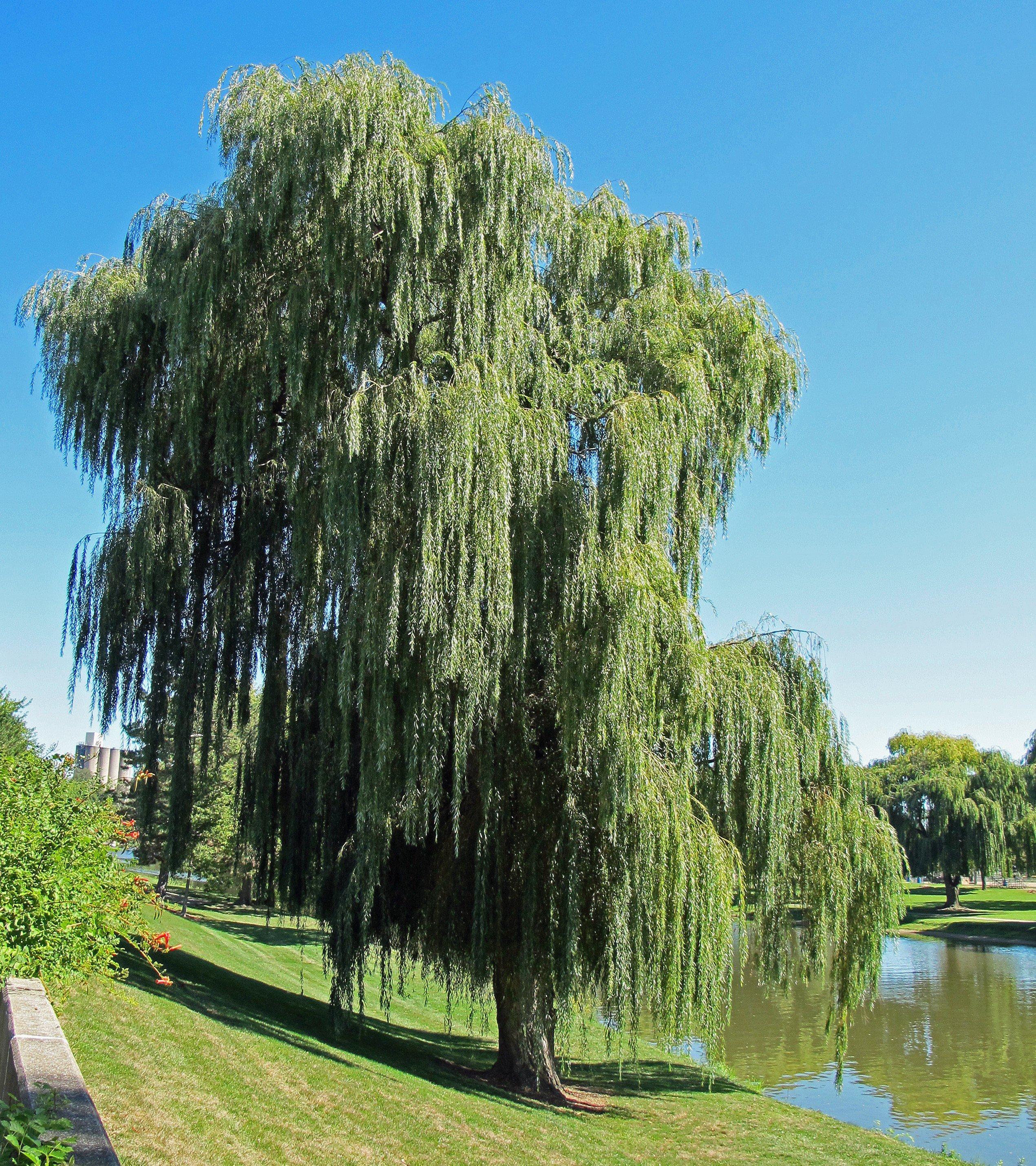 Willow Tree 2541x2859
