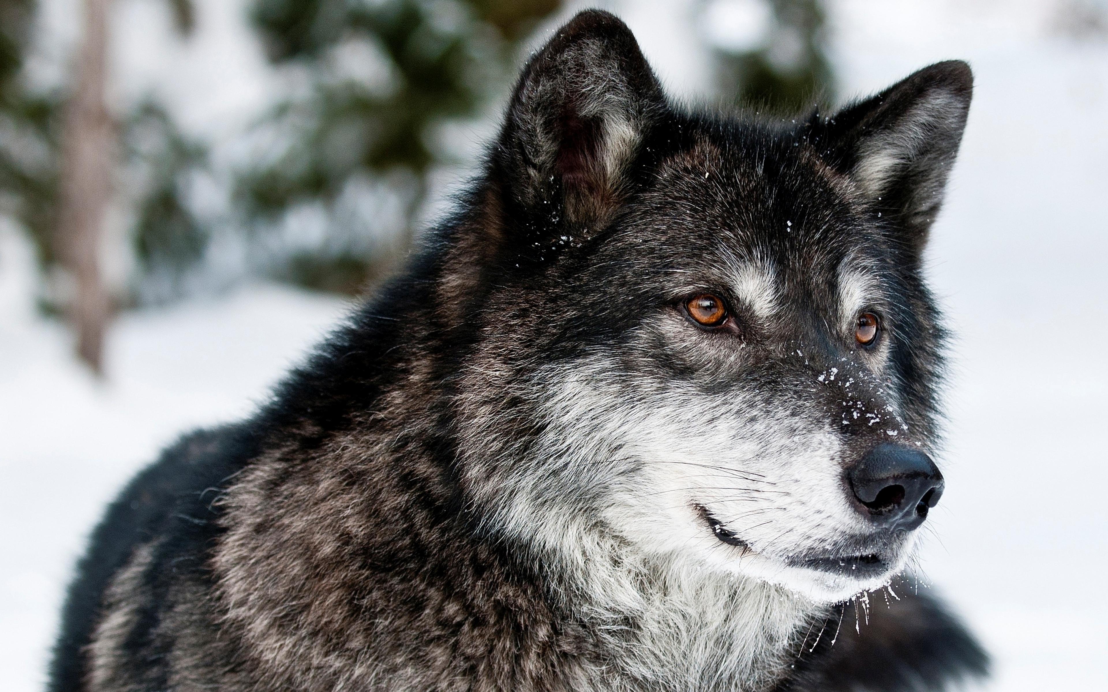 Download Wallpaper 3840x2400 wolf muzzle eyes predator Ultra HD 4K 3840x2400