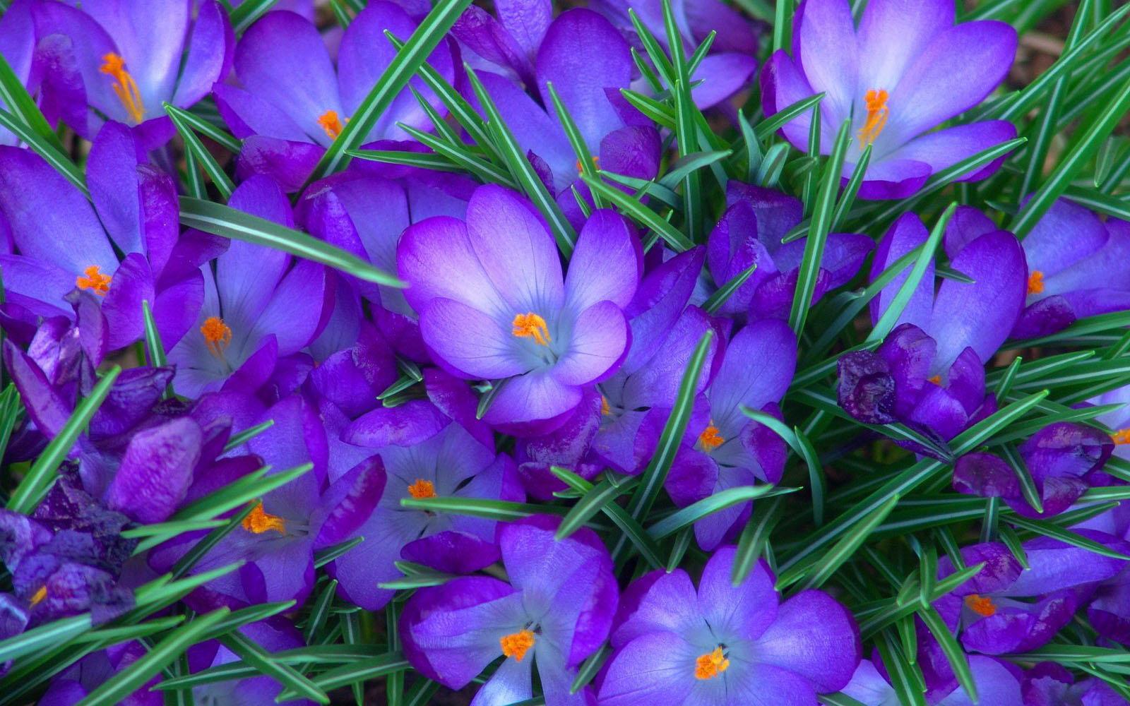 Flowers Wallpapers Purple Crocus Flowers Desktop Wallpapers Purple 1600x1000