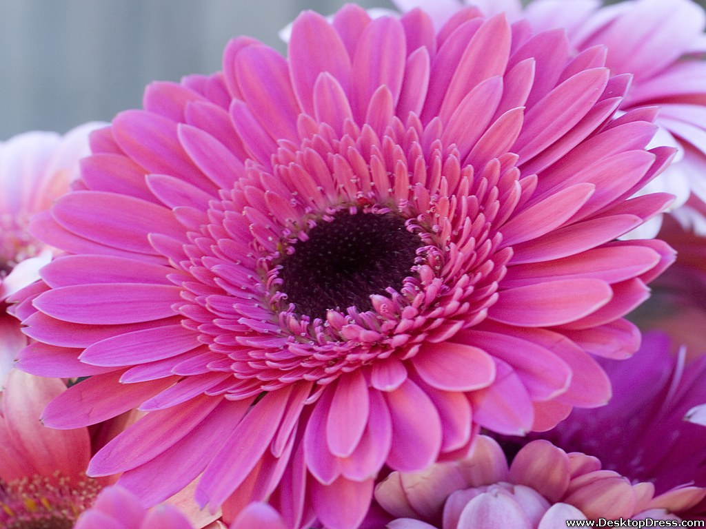 wallpapers flowers gardens backgrounds gerbera daisy gerbera daisy 1024x768