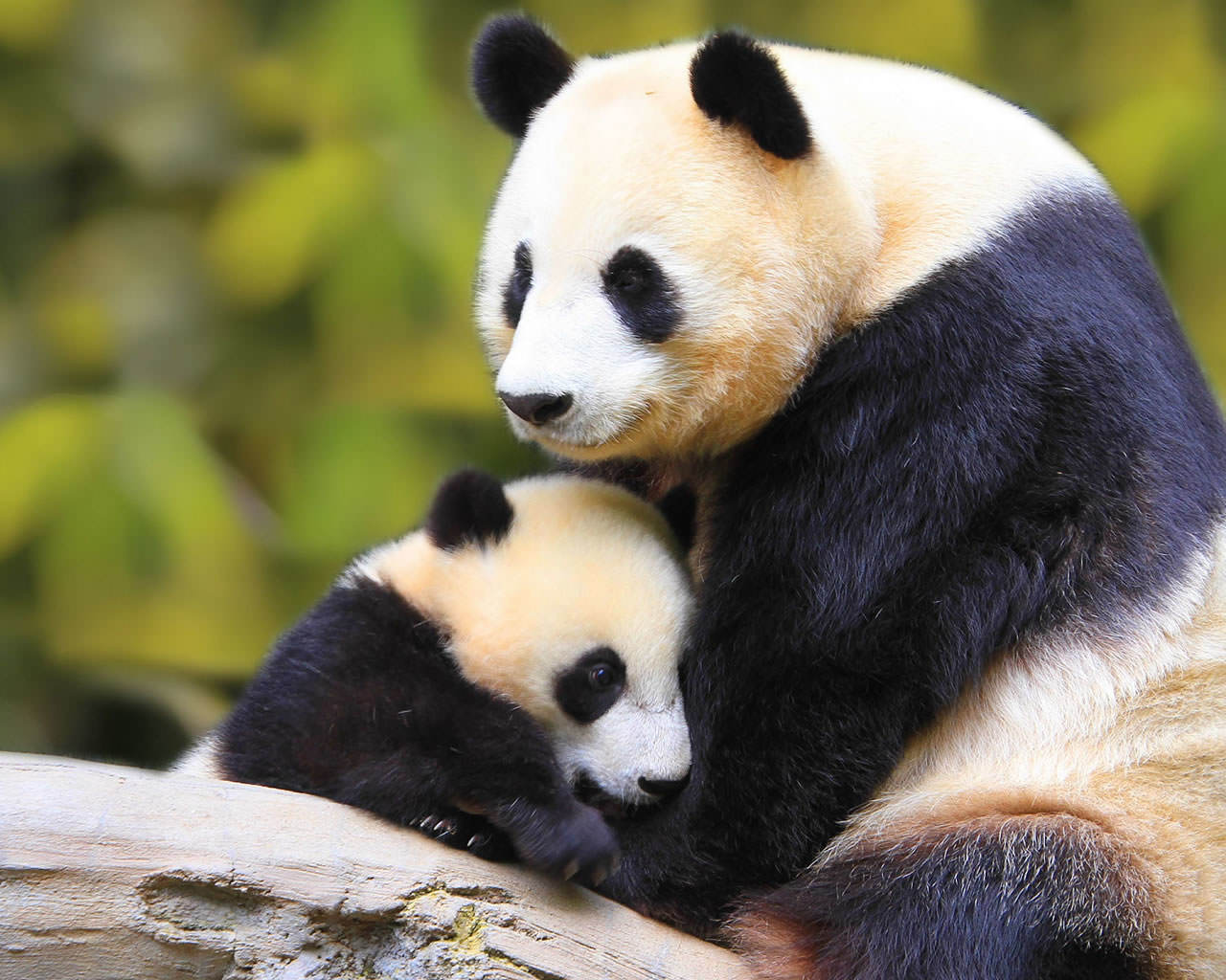 Baby Panda With Mother 1280x1024 1280x1024