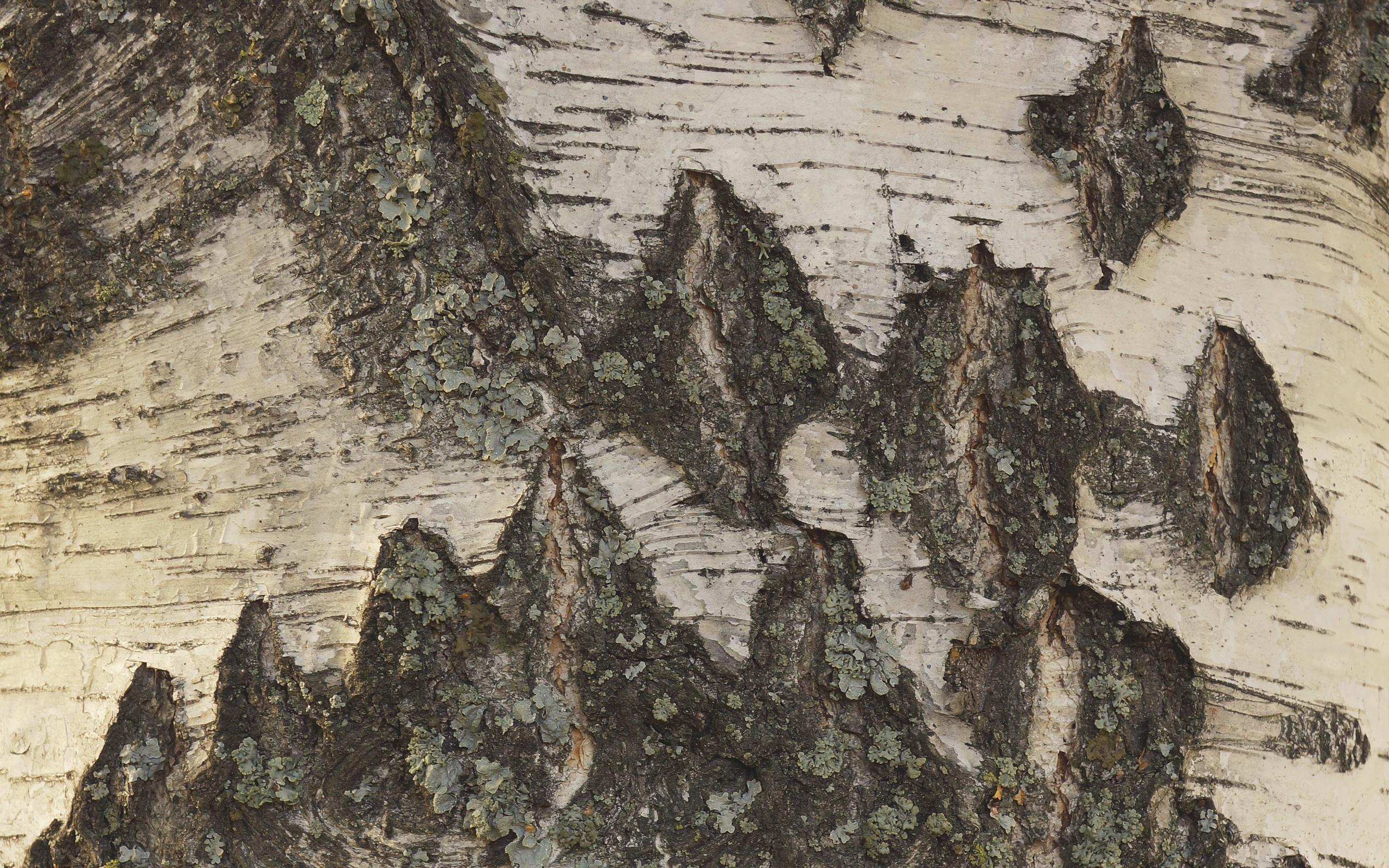 birch bark 2560x1600