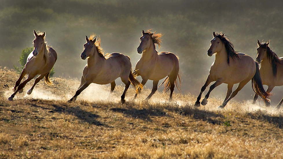 Beautiful Wallpapers wild horses wallpapers 978x549