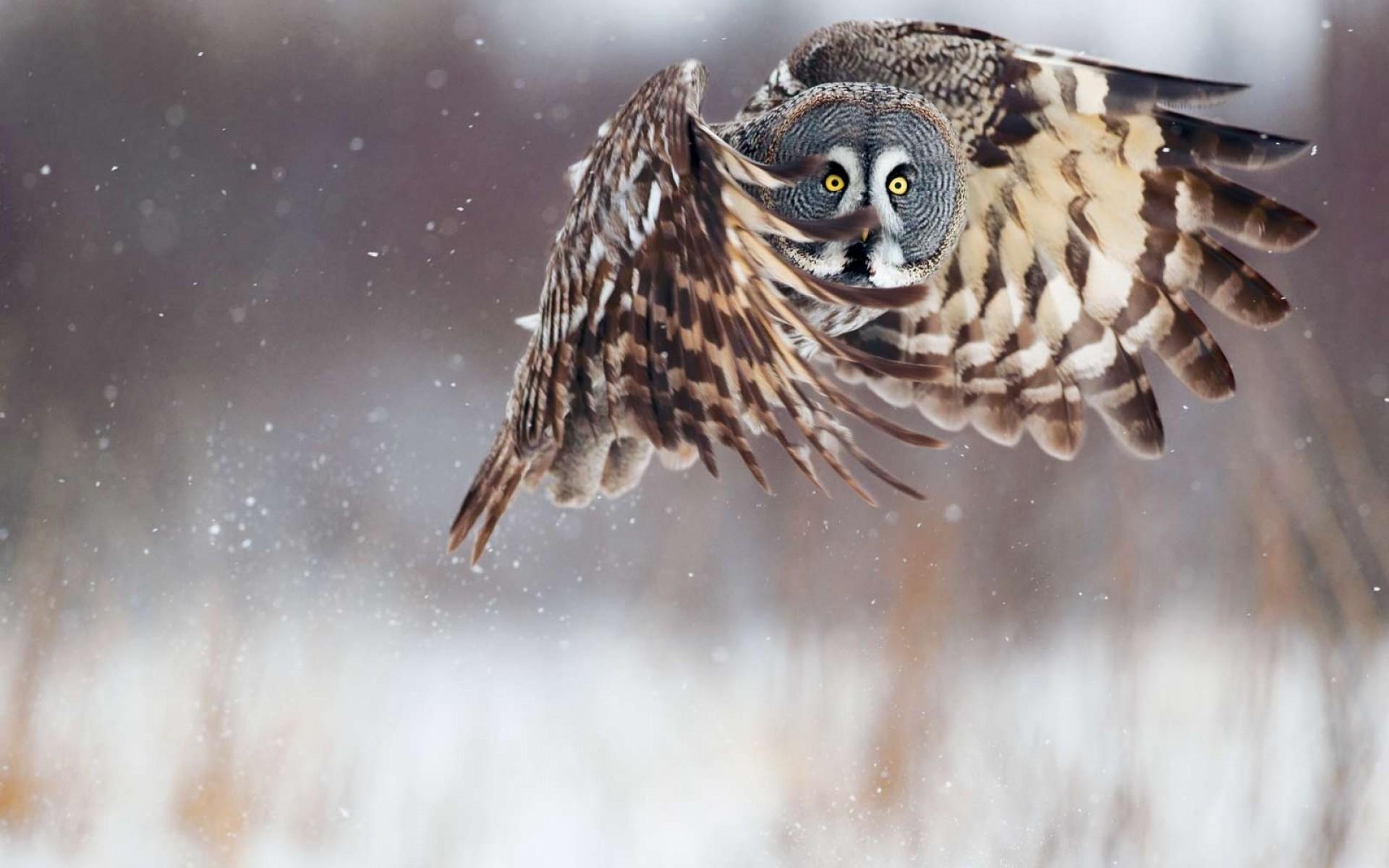 Owl Flying wallpaper   400898 1920x1200