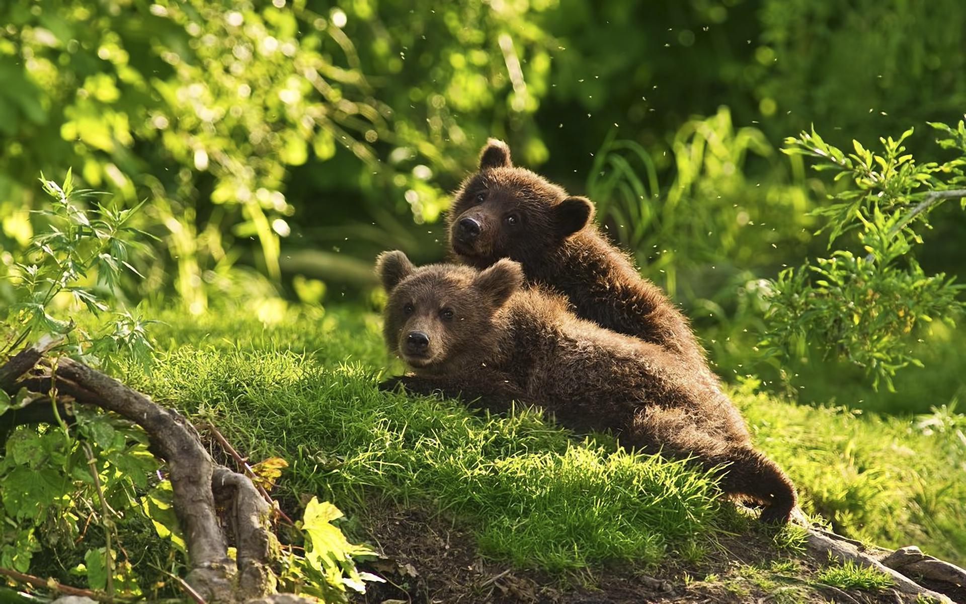 wallpapers brown bear lists bears animals desktop 1920x1200