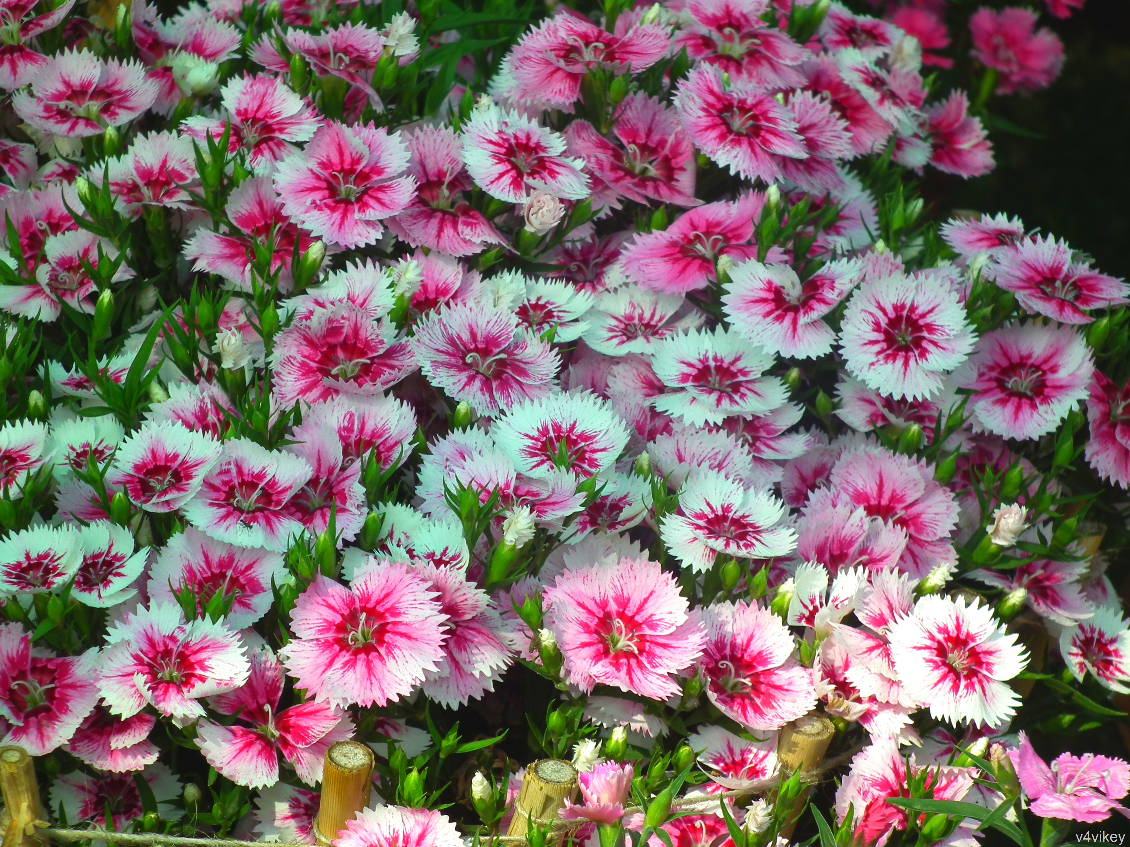 Beautiful Nature Pink White Color Dianthus Flower Wallpaper Tadka 3648x2736
