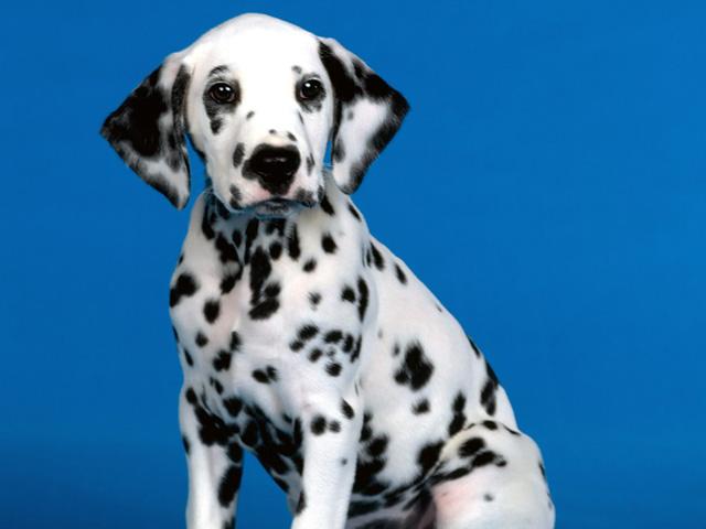 Dalmatians Dog See Spot Download Blackberry iPhone Desktop and 640x480