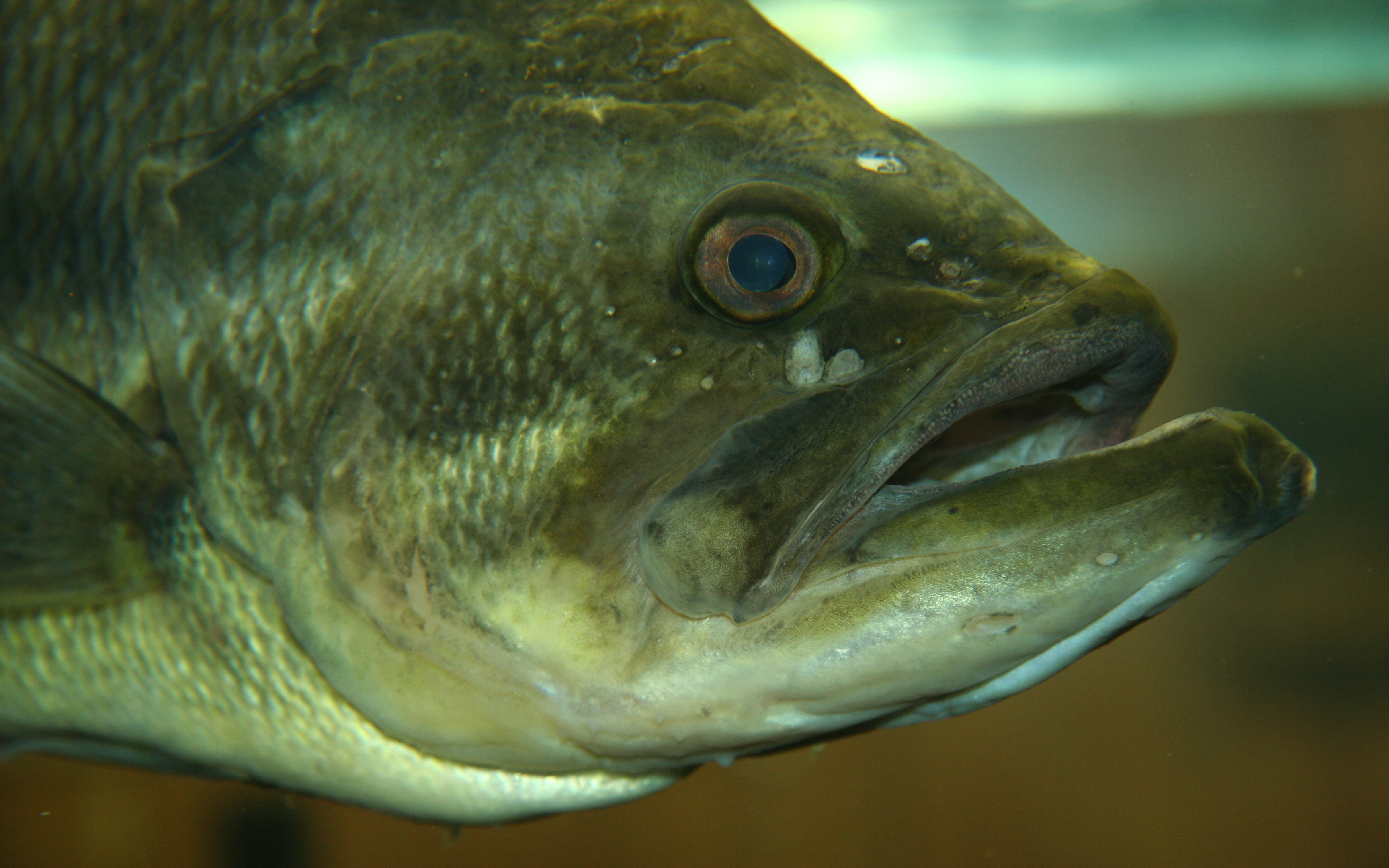 Largemouth bass photos and wallpapers Nice Largemouth 3456x2160