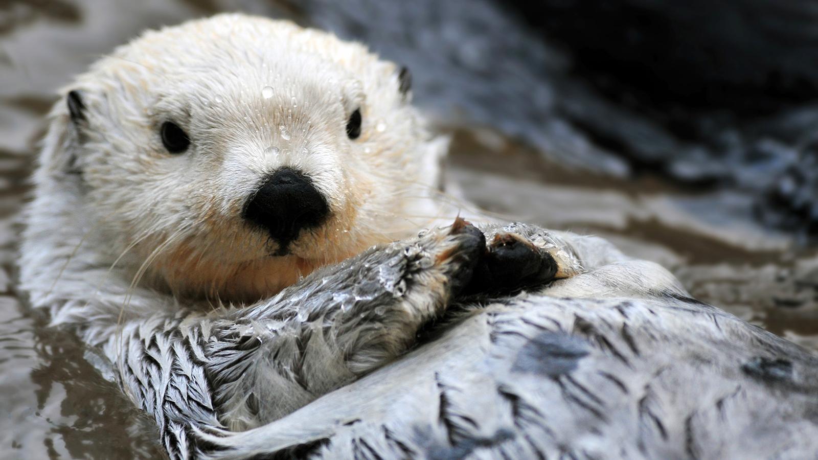Sea Otter HD Wallpaper 1600x900