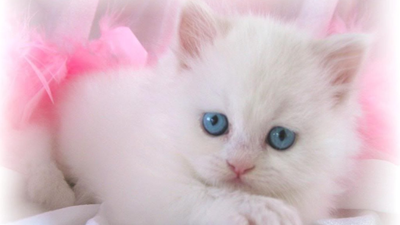 Download Cute White Cat Kitten Wallpaper Full HD Wallpapers 1366x768