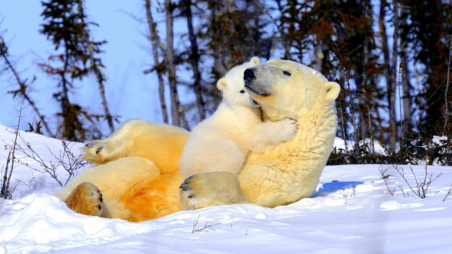 wallpaper and screensavers free polar bears - wallpapersafari