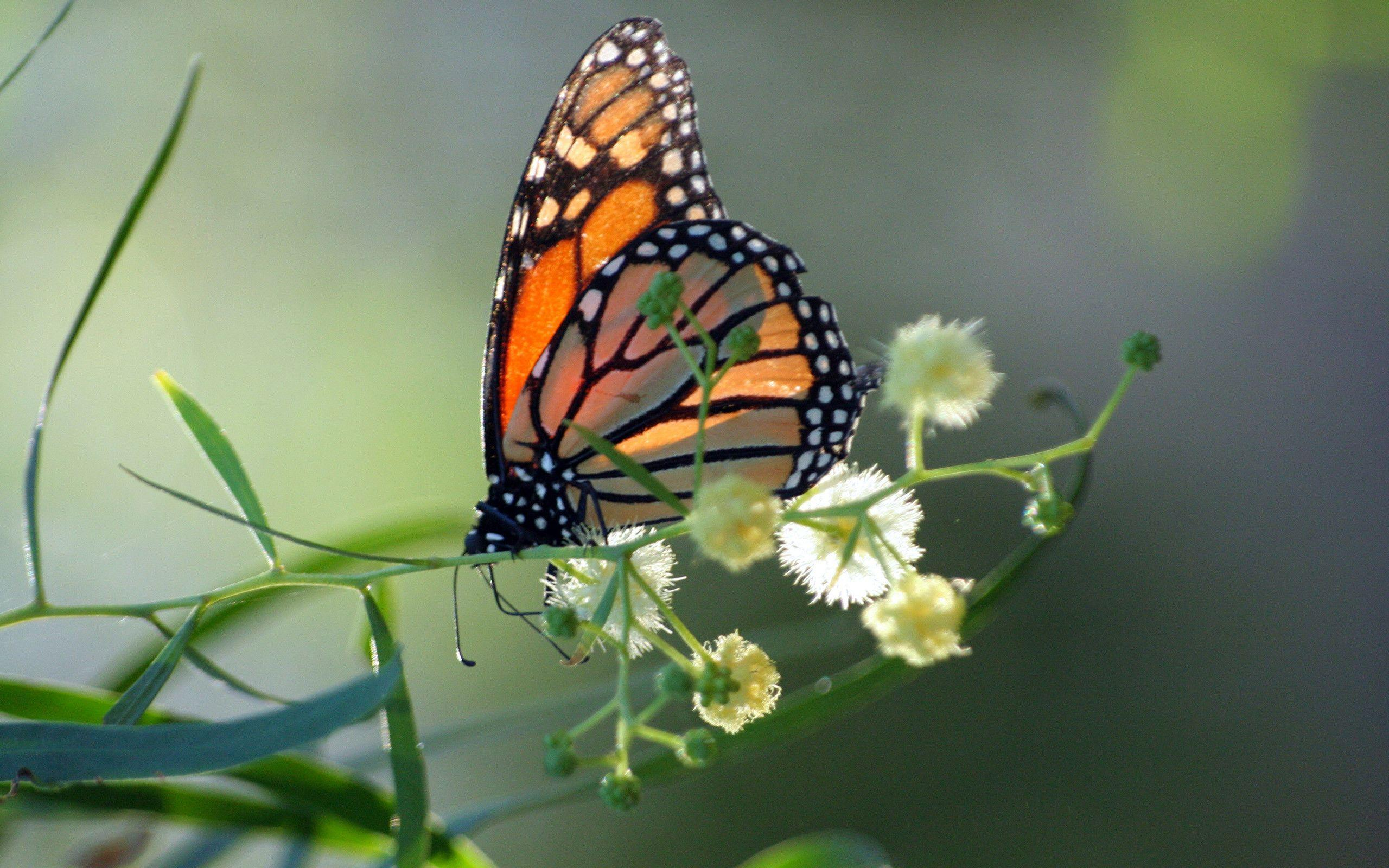 Monarch Butterfly Wallpapers 2560x1600