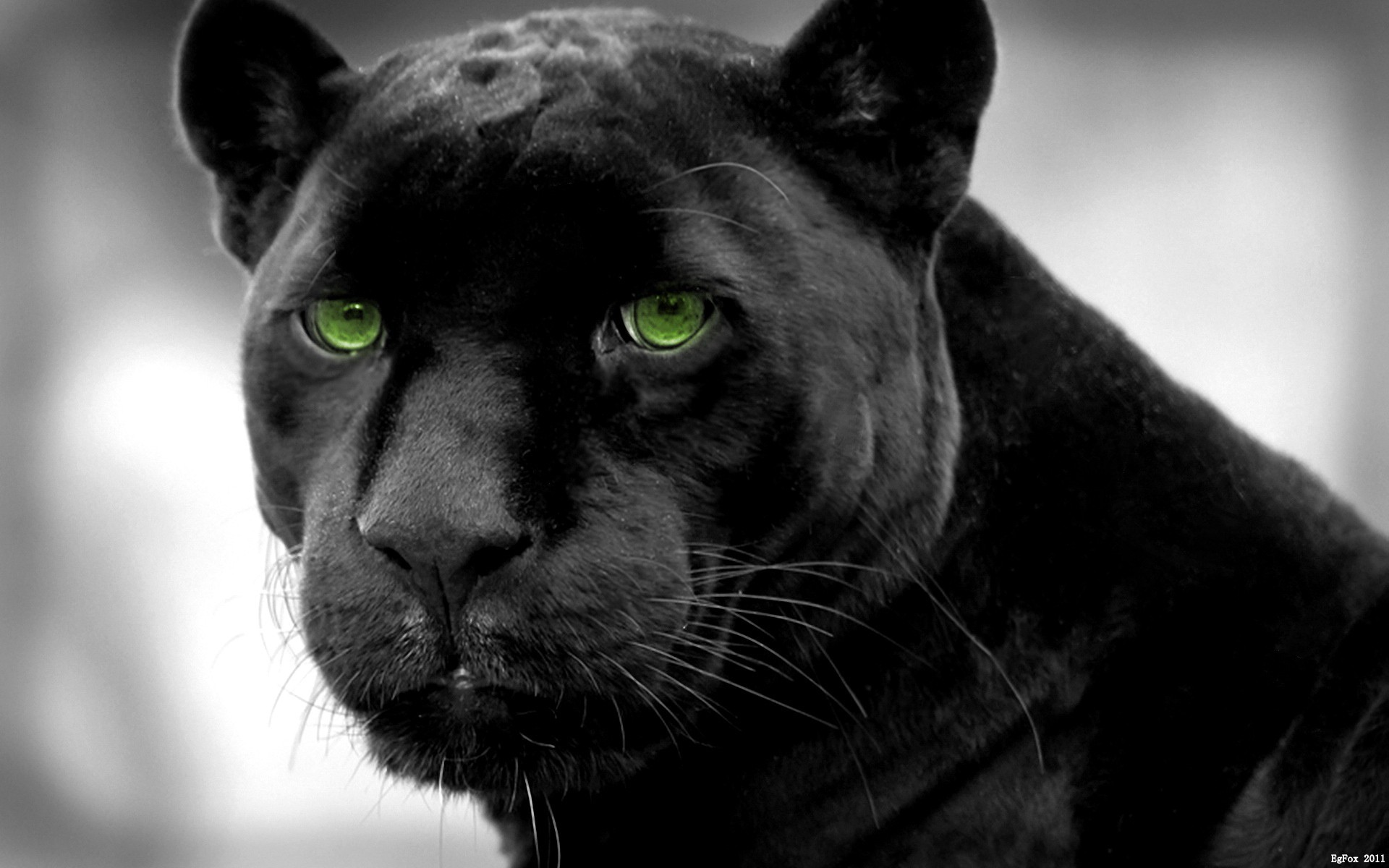 Panthers selective coloring black panther wallpaper 1920x1200 1920x1200