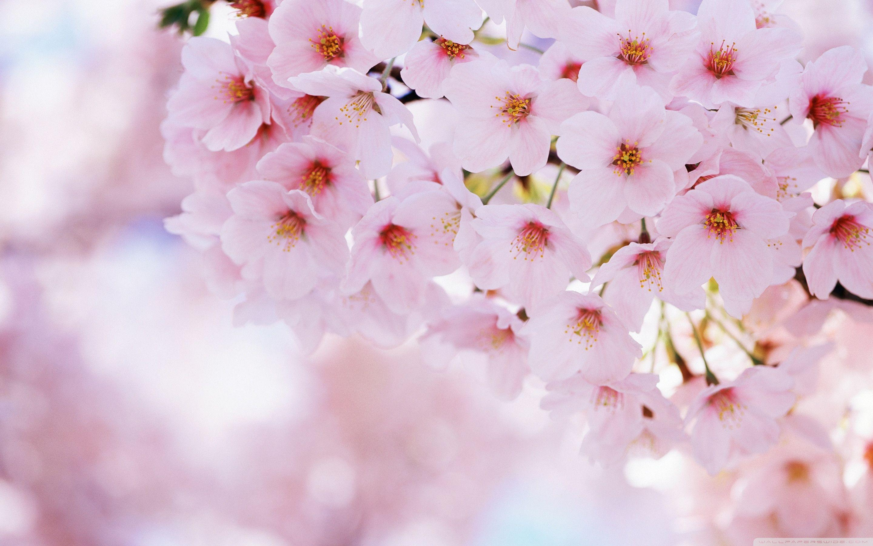 Cherry Blossom Backgrounds 2880x1800