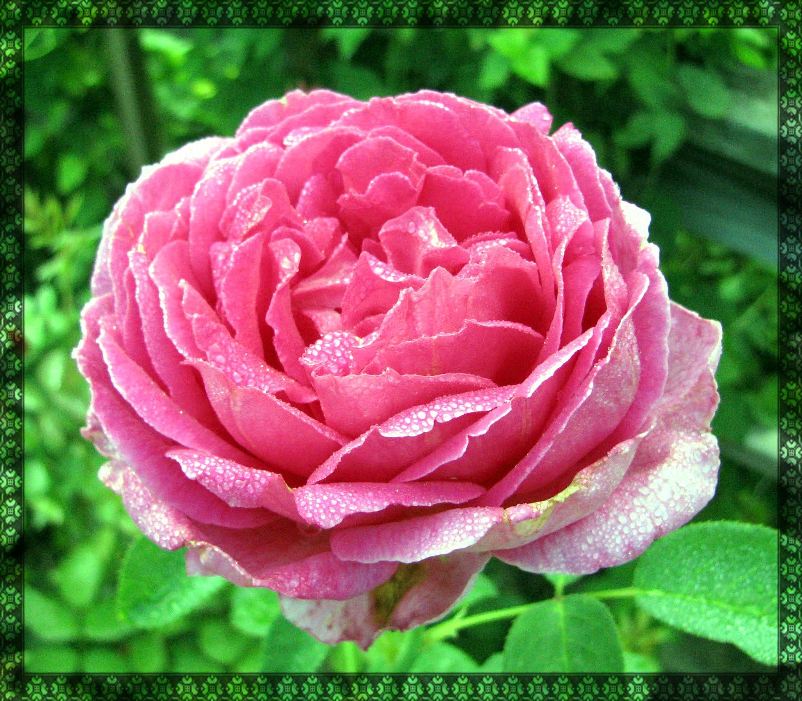 Pink Spring Flower Wallpaper