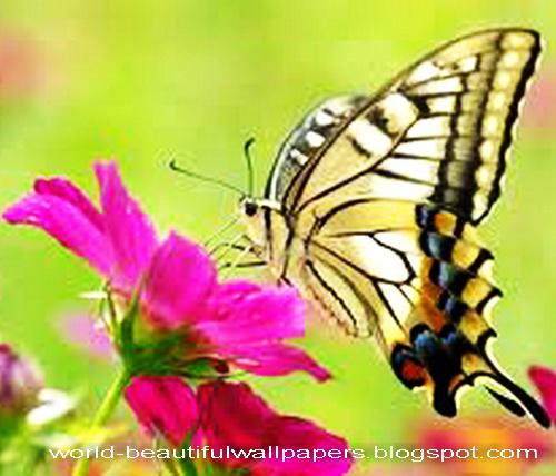 Beautiful Wallpapers Beautiful Butterflies Wallpaper 500x428