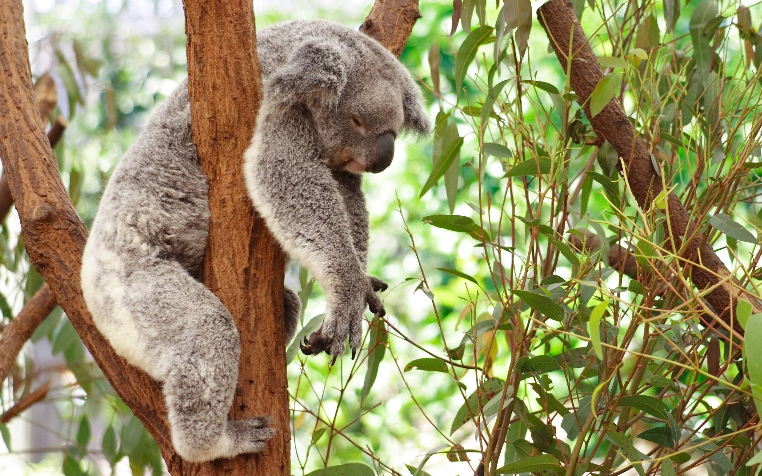 Koala Bear Wallpapers - Wallpaper Cave