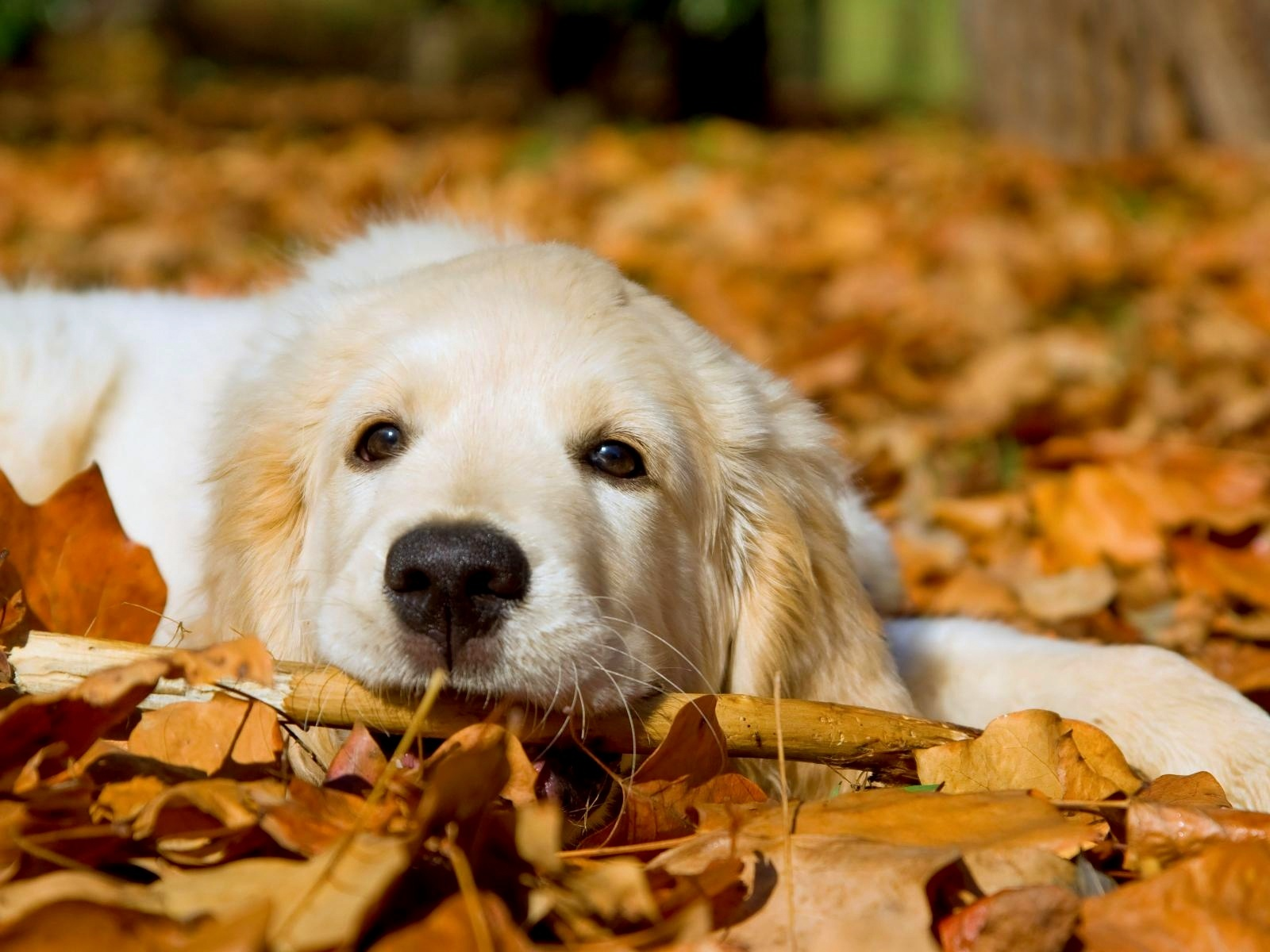1600x1200px Free Fall Wallpaper With Dogs Wallpapersafari