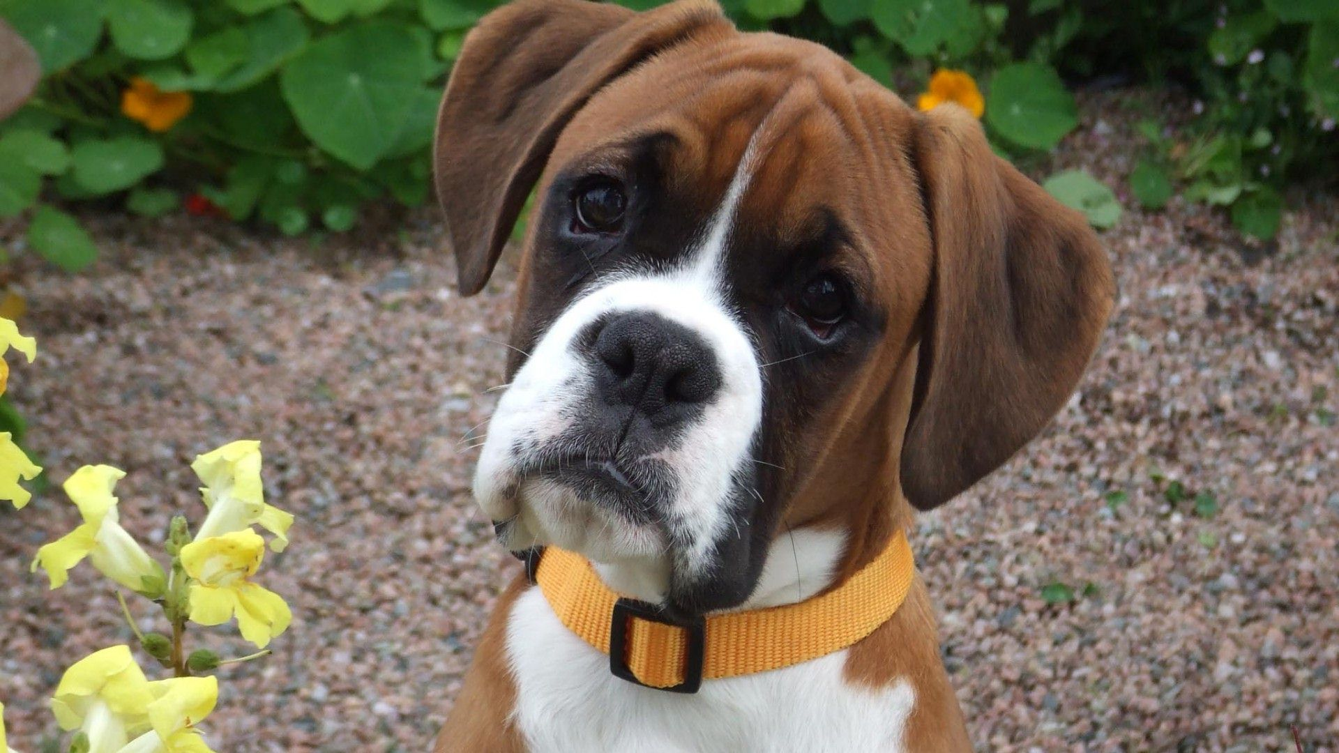 <b>Boxer Dog HD Wallpaper</b> - Android Apps on Google Play
