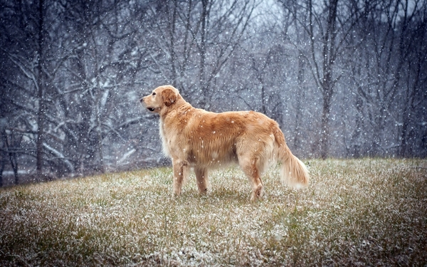 ... dogs snowflakes golden retriever – Dogs Wallpapers – Desktop