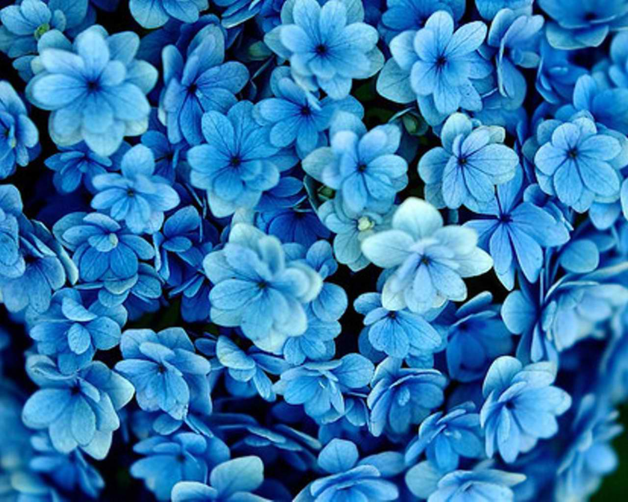 Wallpaper Background Blue Flowers