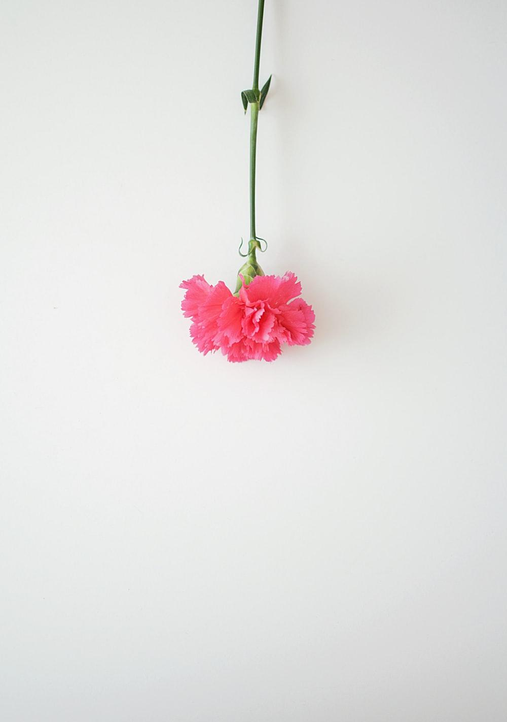 Pink Carnation Pictures Download Images on Unsplash 1000x1422