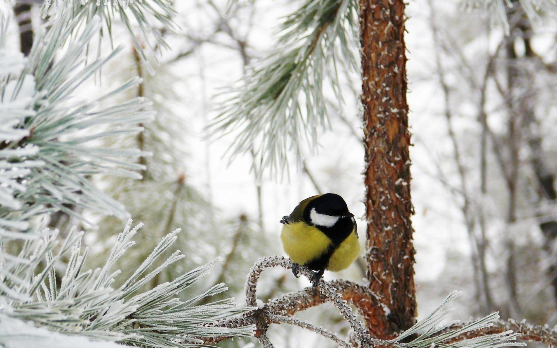 Widescreen Winter Bird Wallpaper - WallpaperSafari