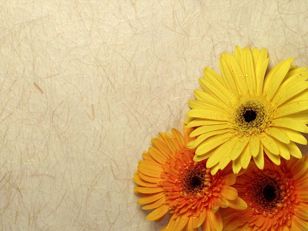 gerber daisy computer wallpaper
