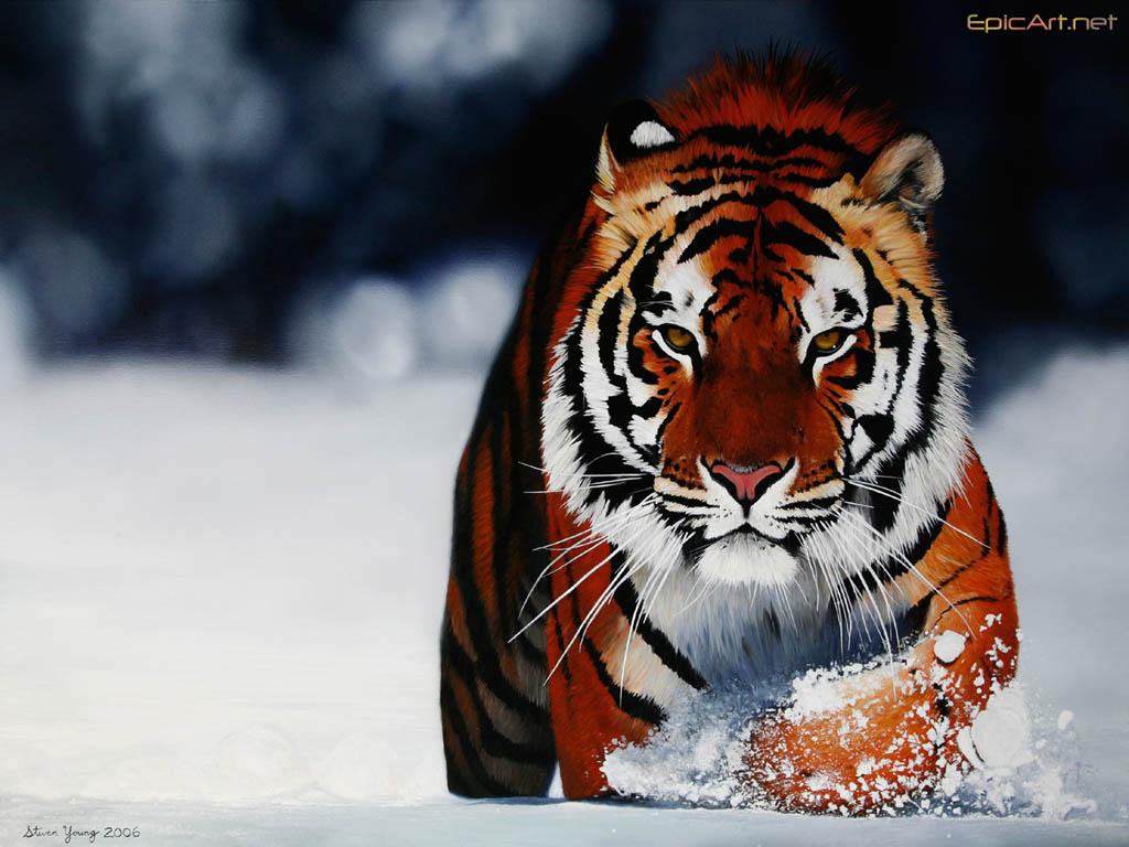 Computer wallpaper PC wallpaper Bengal Tiger in Snow 1024x768