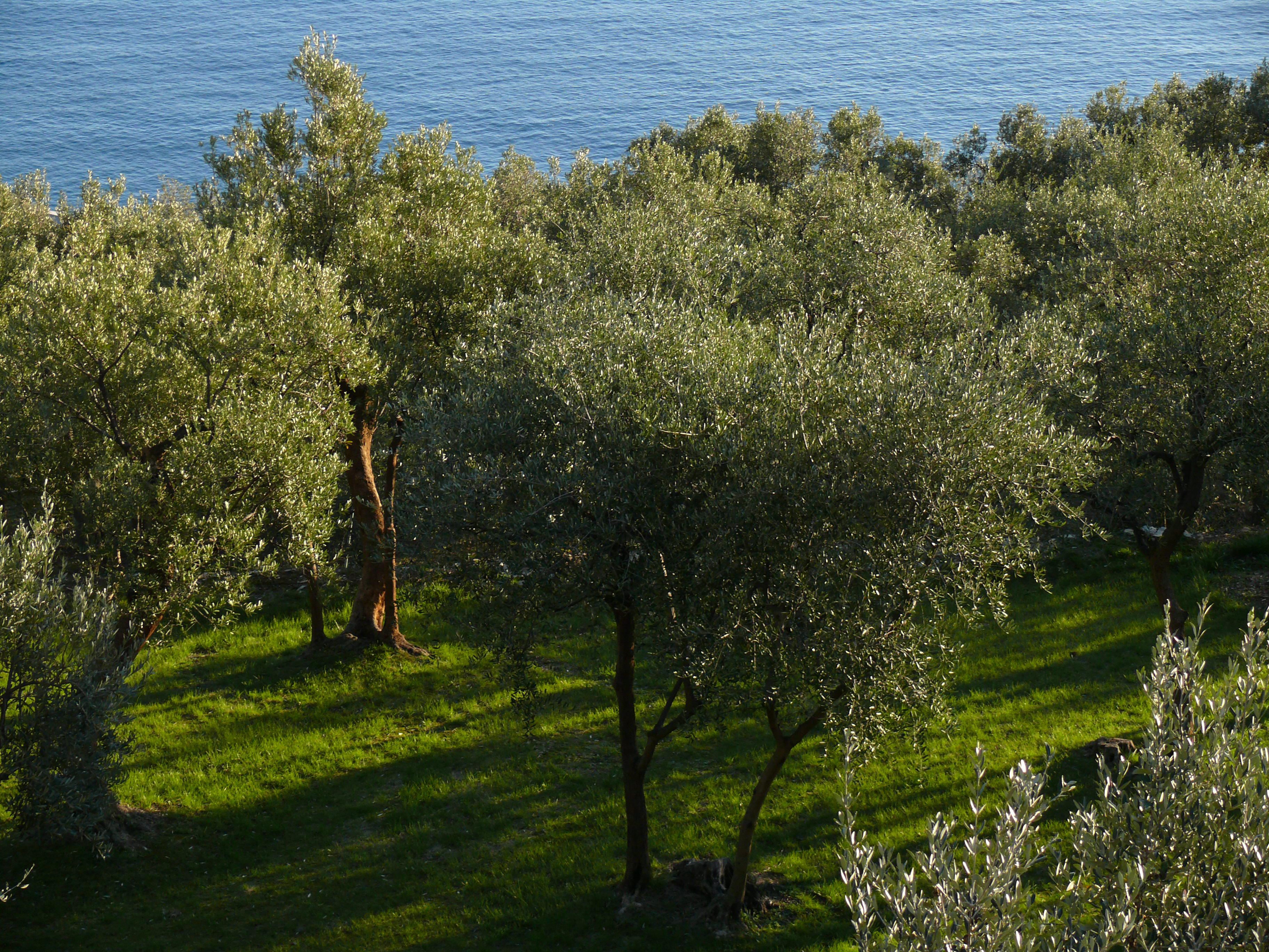 Olive trees on the background of the sea in Liguria Italy 3648x2736