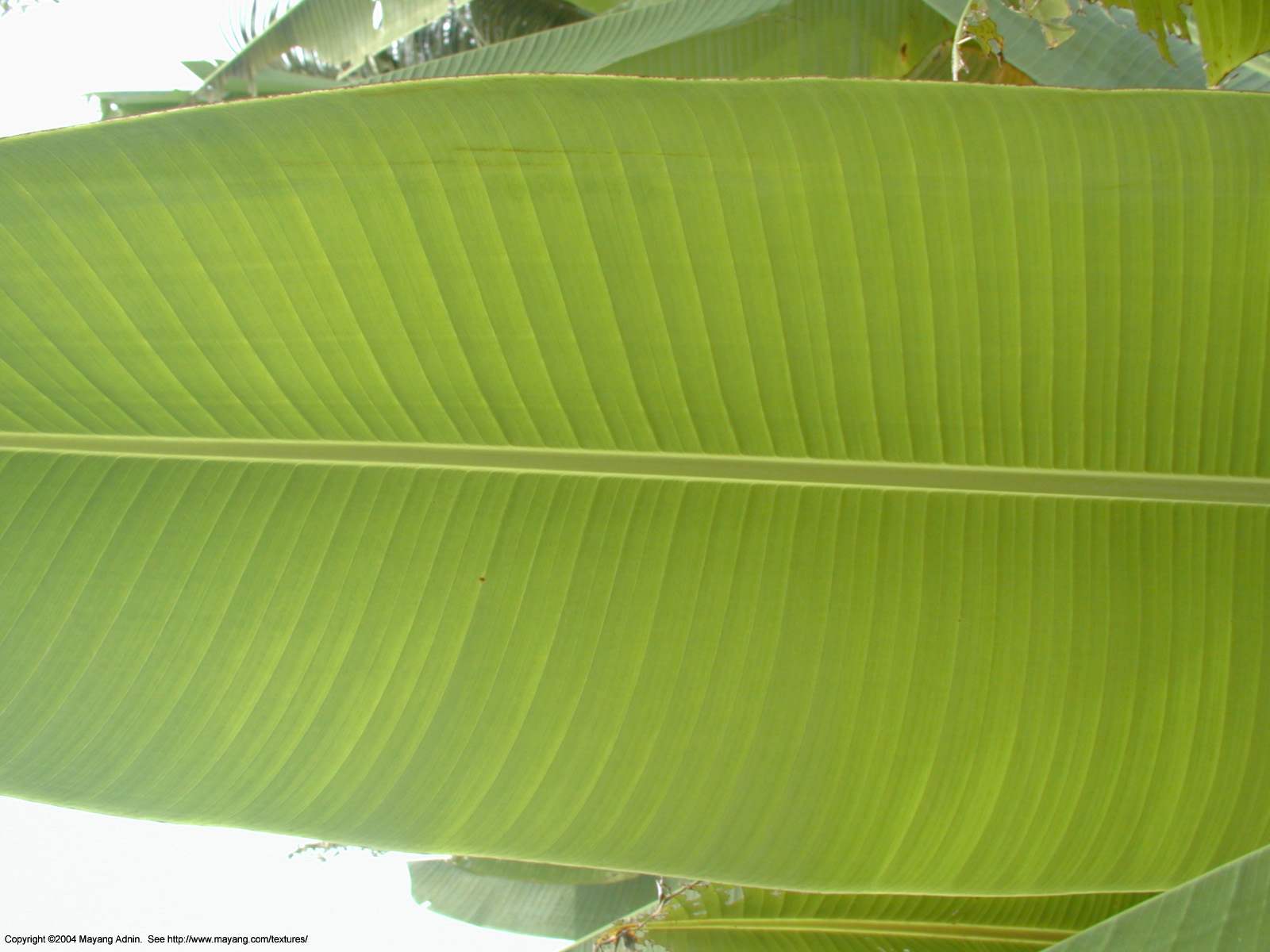 Pin Banana Leaf By Daniel Sommerlad Desktop Wallpaper 1600x1200