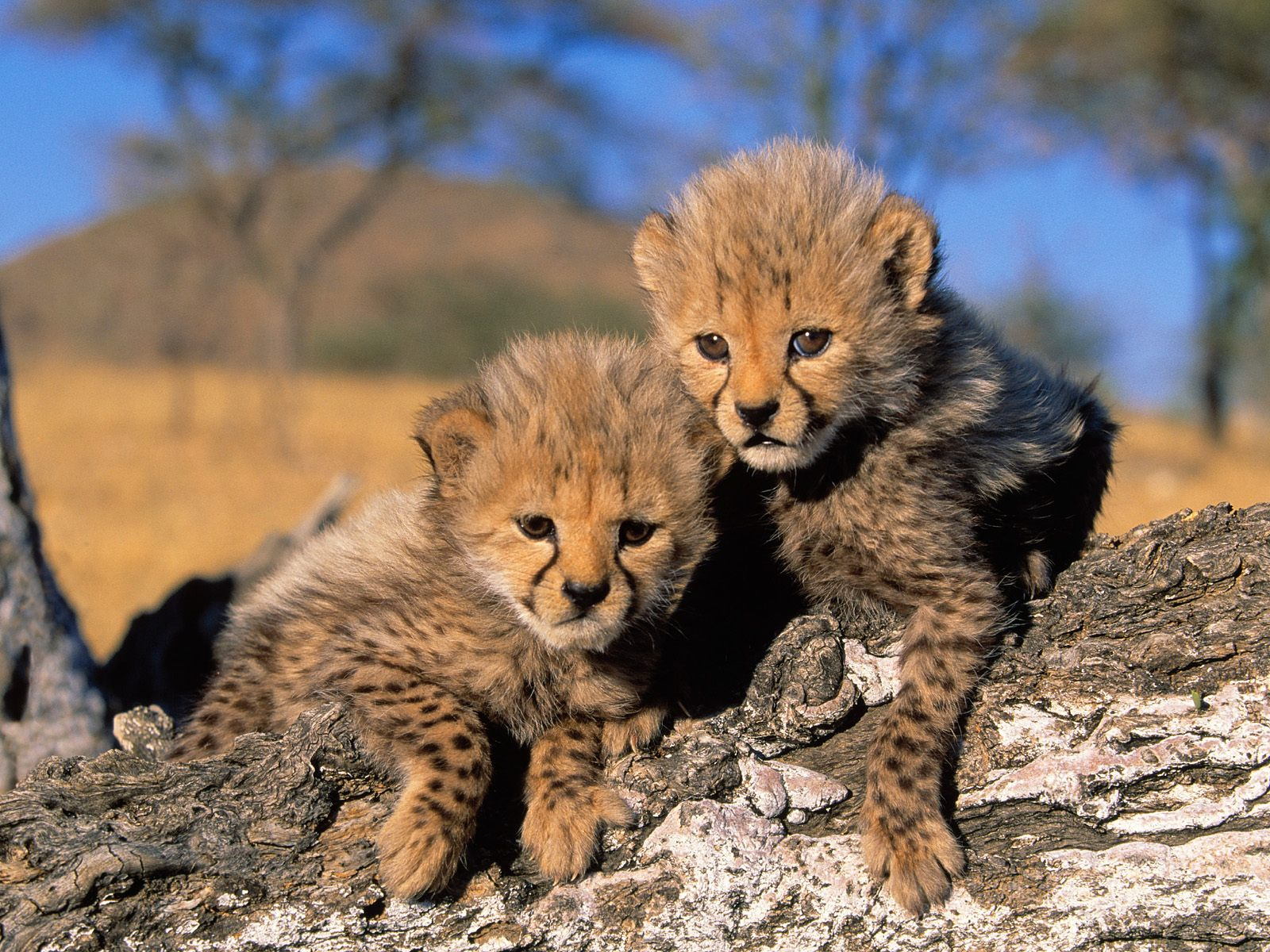 HQ Cheetah Cubs Africa Wallpaper   HQ Wallpapers 1600x1200