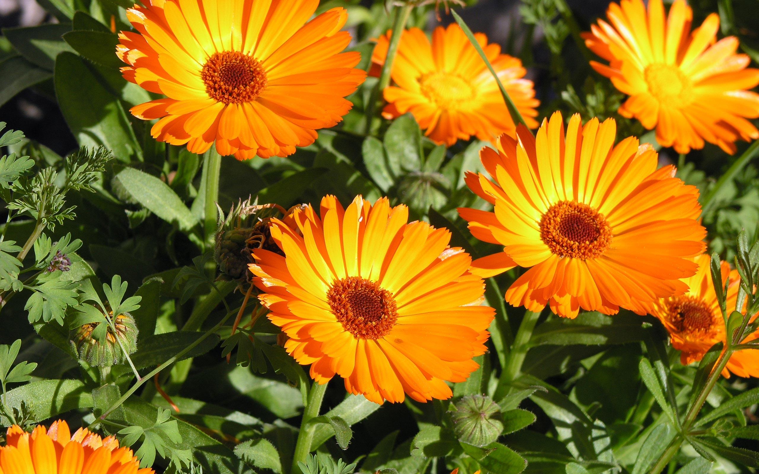 Orange flowers wallpapers Orange flowers stock photos 2560x1600
