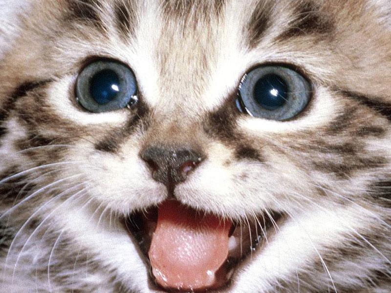 Cat Desktop WallpapersComputer Wallpaper Wallpaper Downloads 800x600