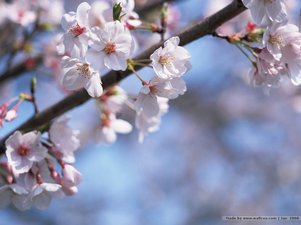 japanese cherry blossoms wallpaper wallpapersafari. Black Bedroom Furniture Sets. Home Design Ideas