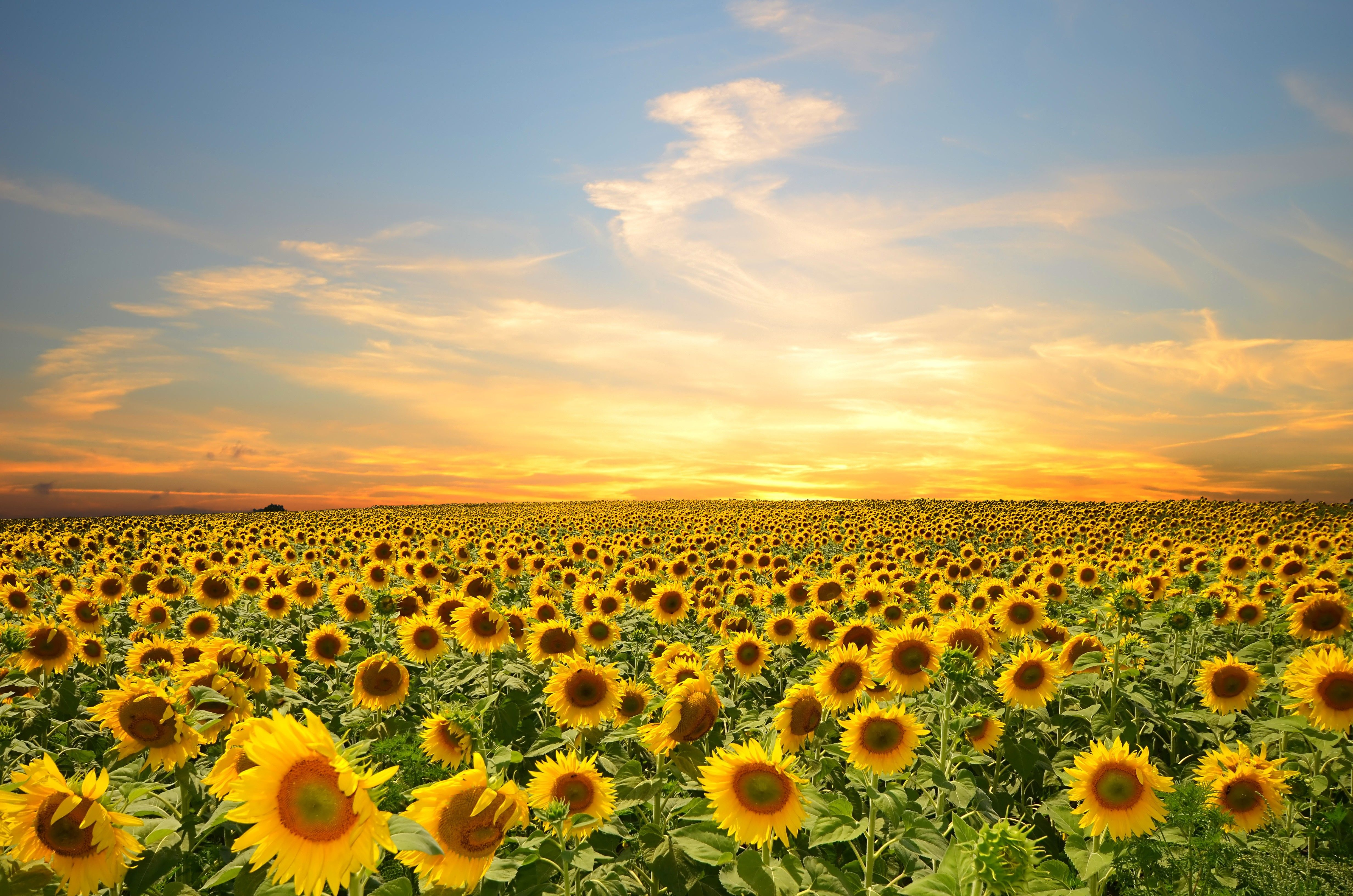 Sunflowers Flowers Sunset Sky Splendor Petals Nature Field Clouds 4928x3264