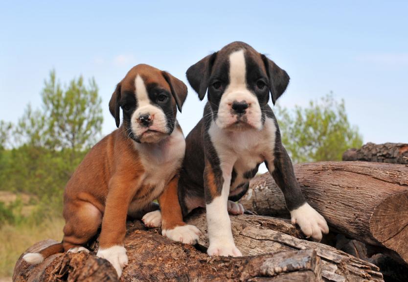 Cute Boxer Puppies Wallpaper Cute Boxer Wallpaper -...