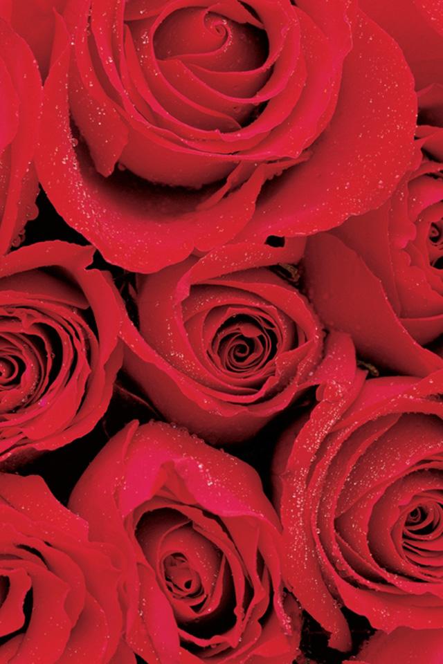 Red Rose iPhone Wallpaper - WallpaperSafari