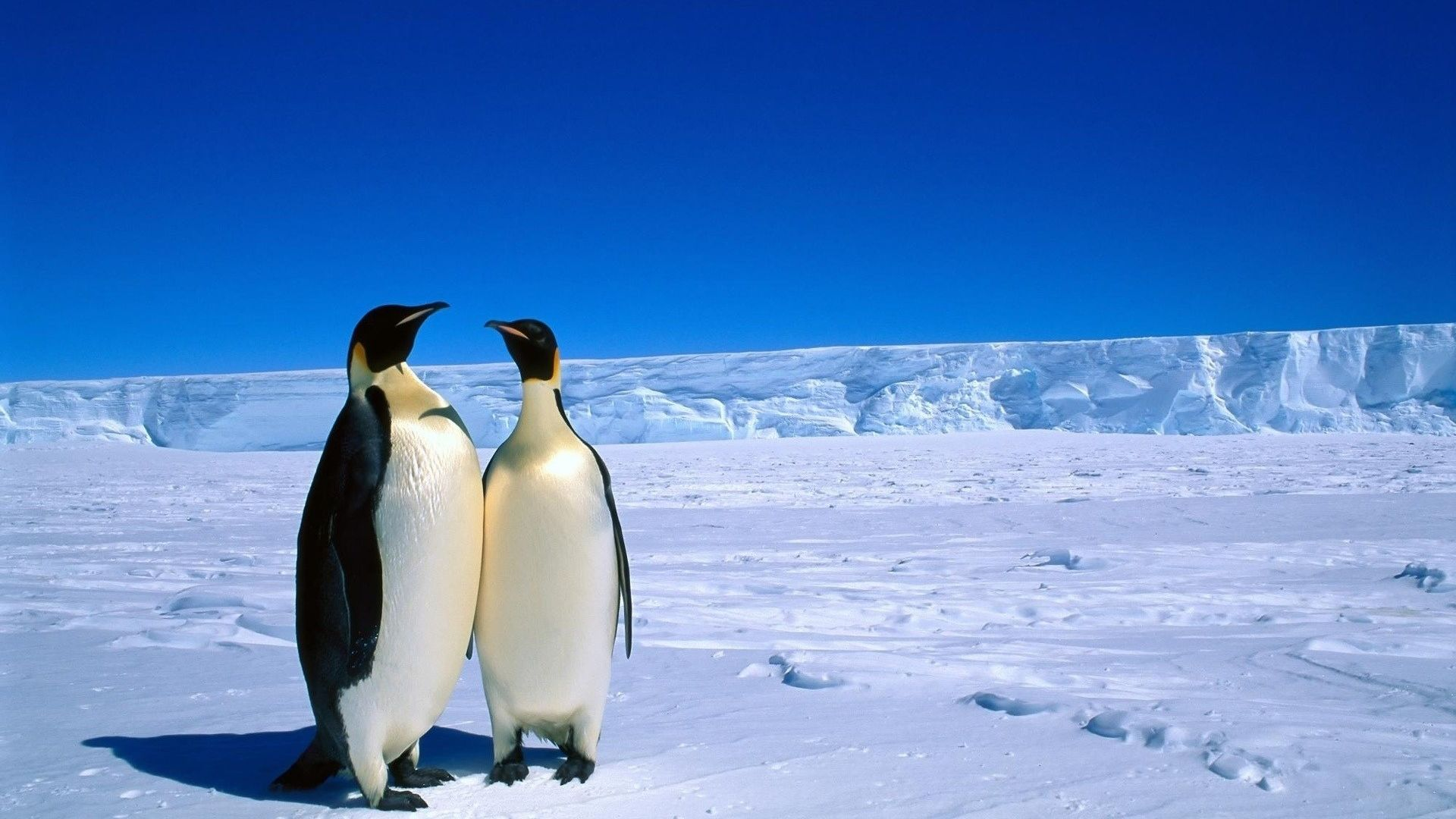 Penguins Love HD Wallpaper   Wallpaper Stream 1920x1080