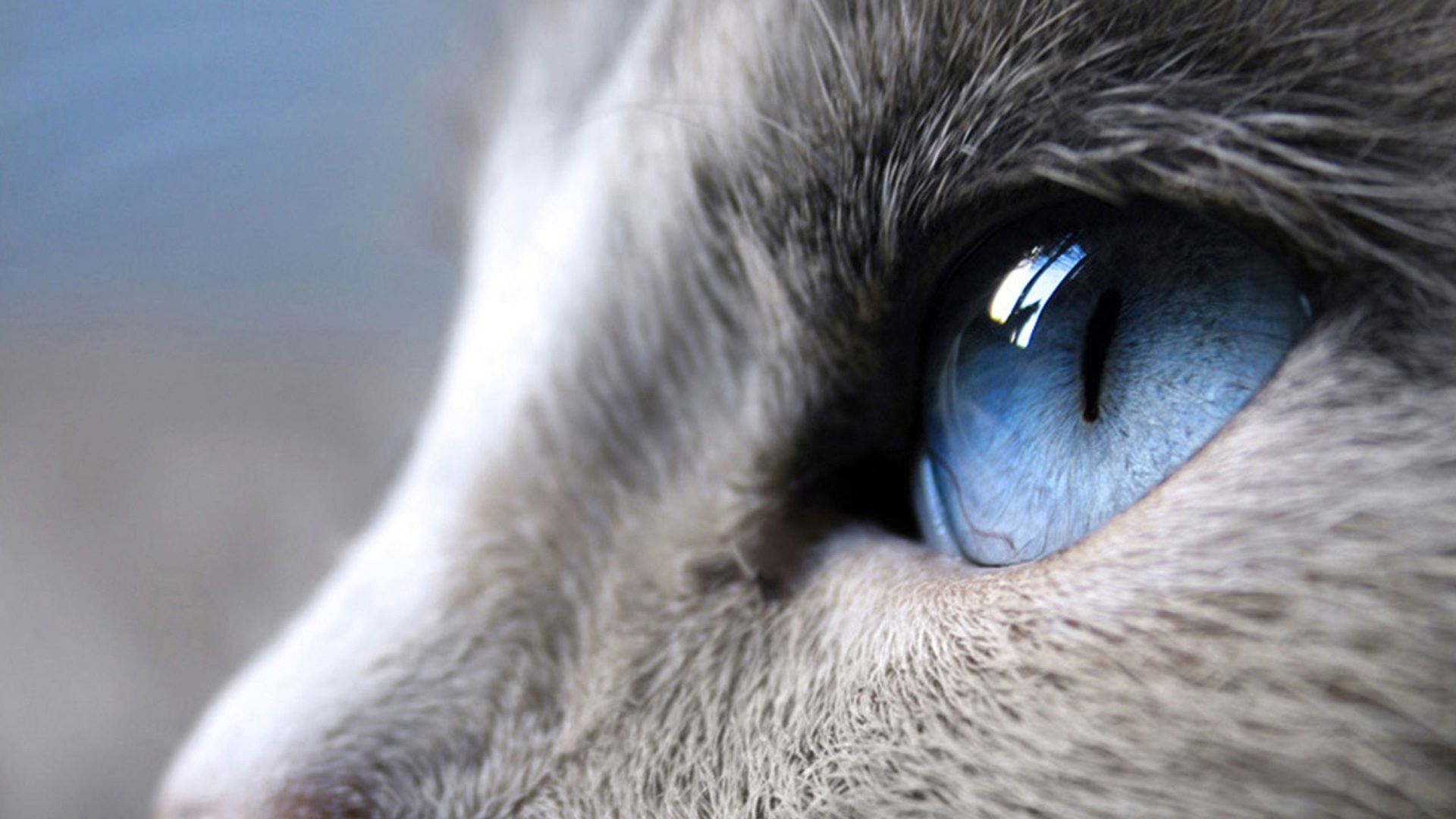 Blue Eyes Cat   1920x1080   372852 1920x1080