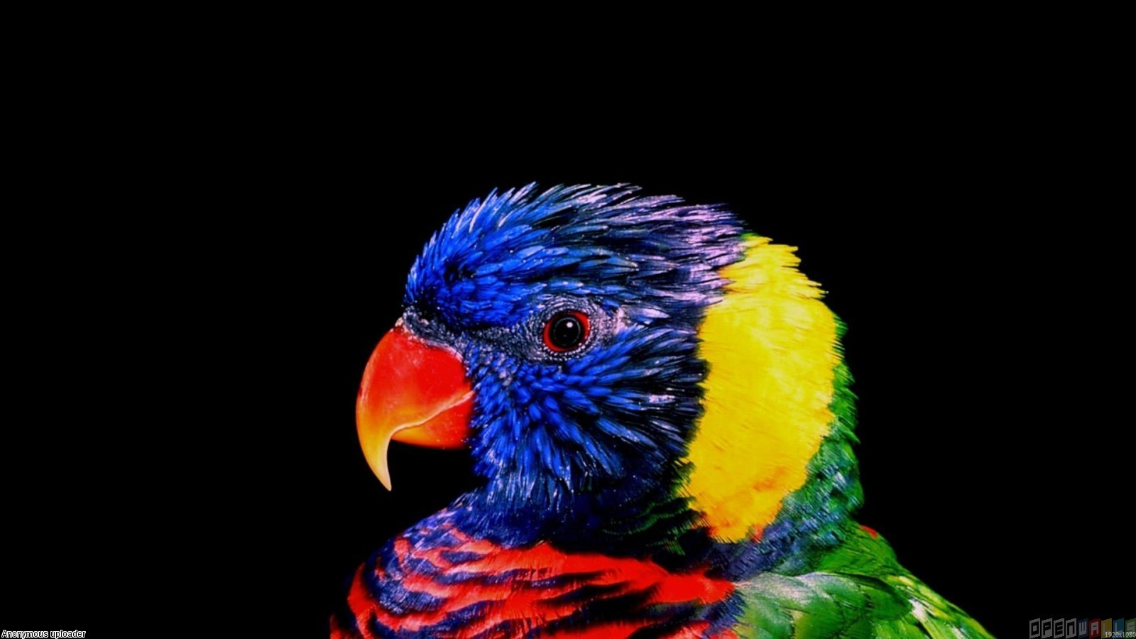 Very colorful parrot wallpaper 4444   Open Walls 1600x900