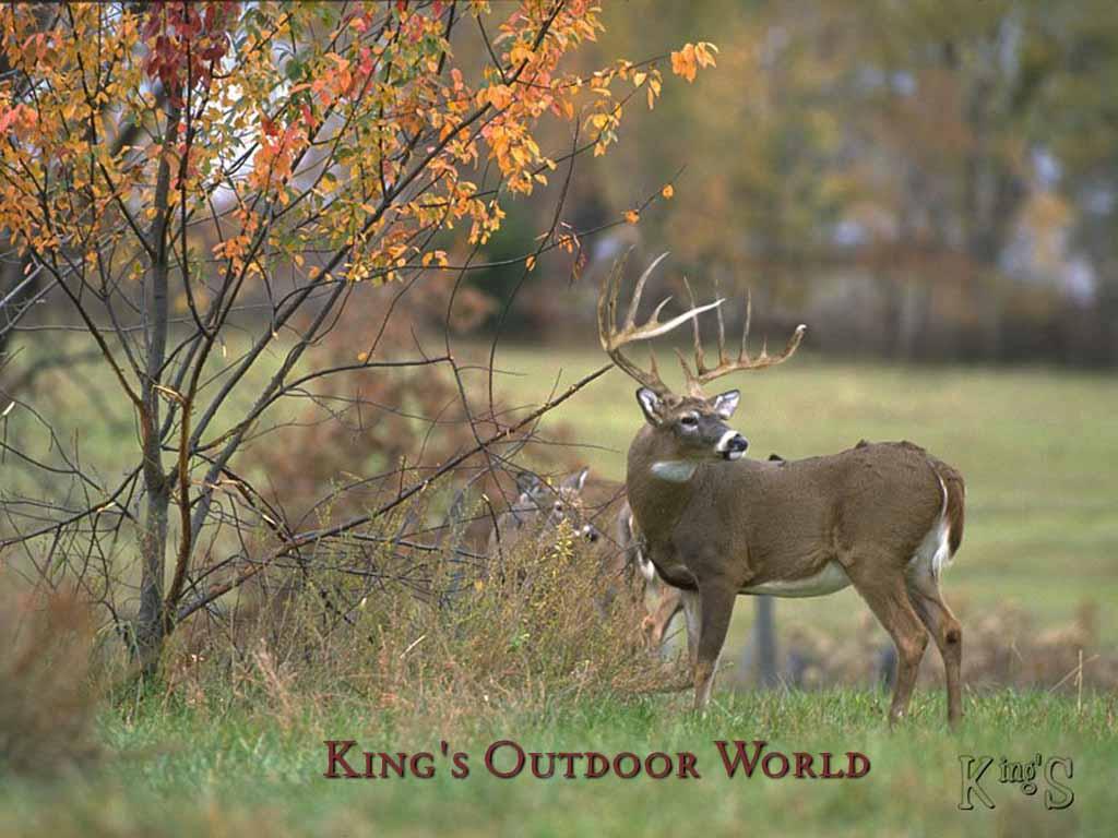 Whitetail Deer Wallpaper Size 1024x768PX Wallpaper Deer 141313 1024x768