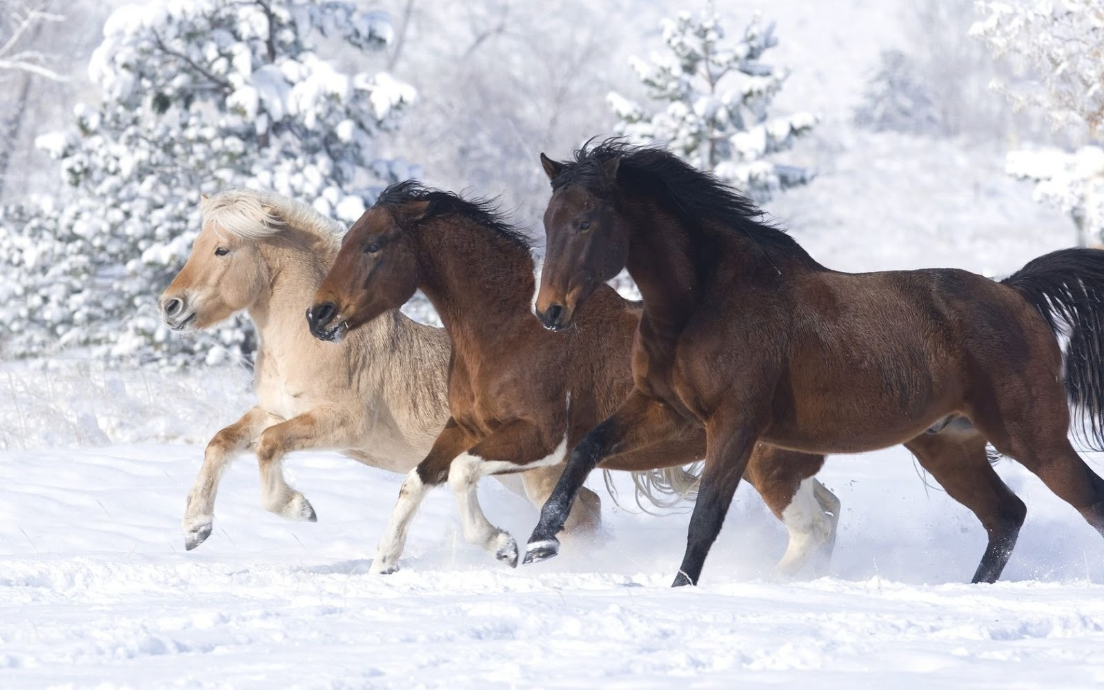 Running White Horse In Snow wallpapers   HD Wallpaper Pic 1600x1000