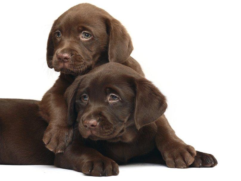 Laboratorios de cachorros Labrador chocolate fondo de pantalla 808x606
