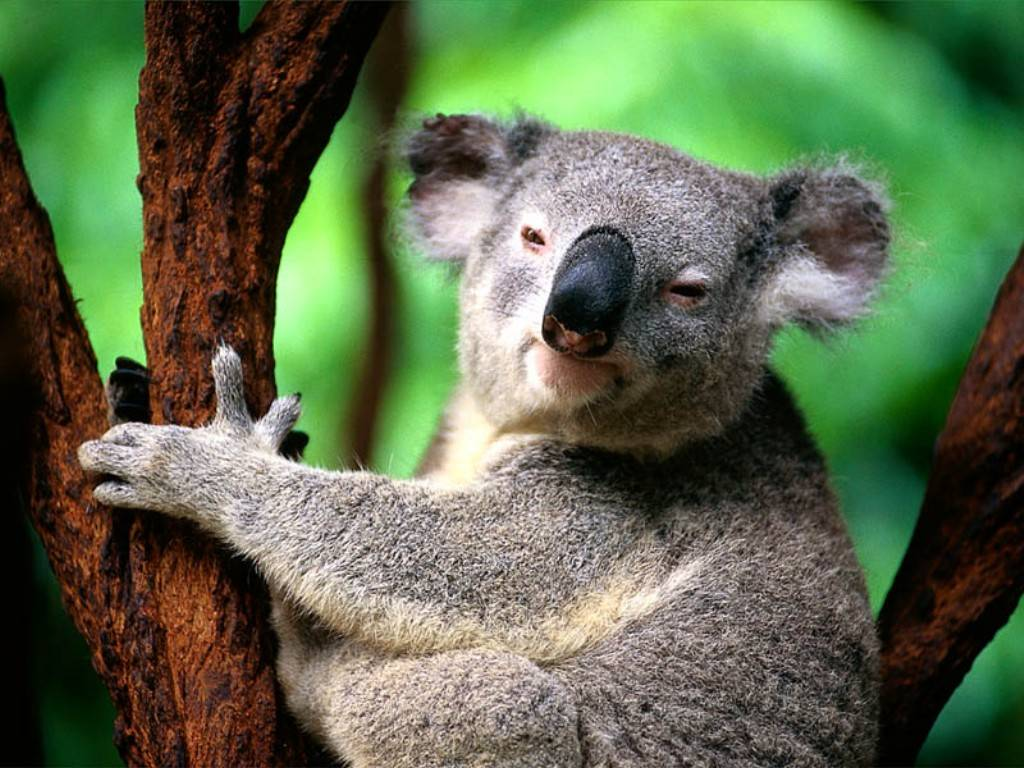 Funny Koala wallpaper |Funny Animal