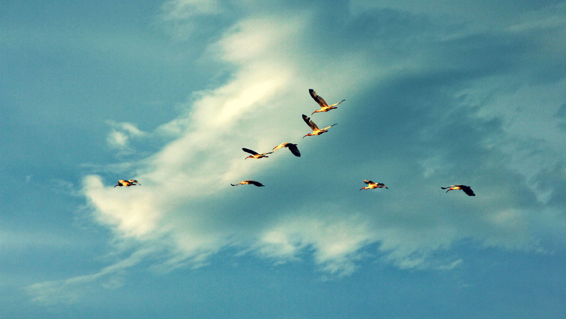 Freedom of flying geese wallpaper Animal desktop background Animal 1920x1081