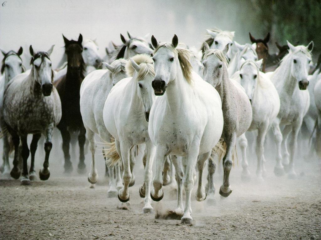 Image Gallary 7 Beautiful Horses Wallpapers for Desktop 1024x768