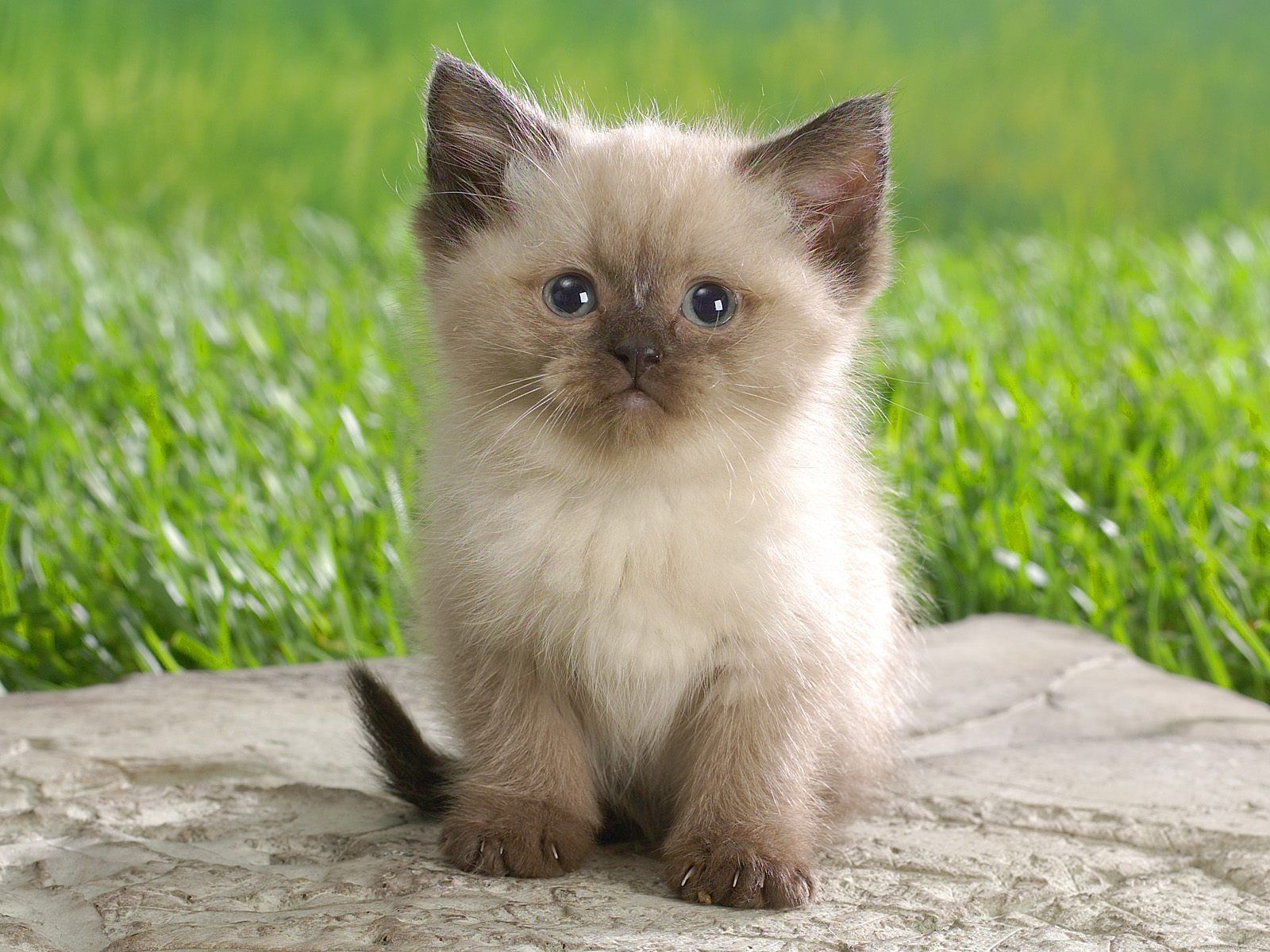 Animals Himalayan Kitten desktop wallpaper nr 39909 1600x1200