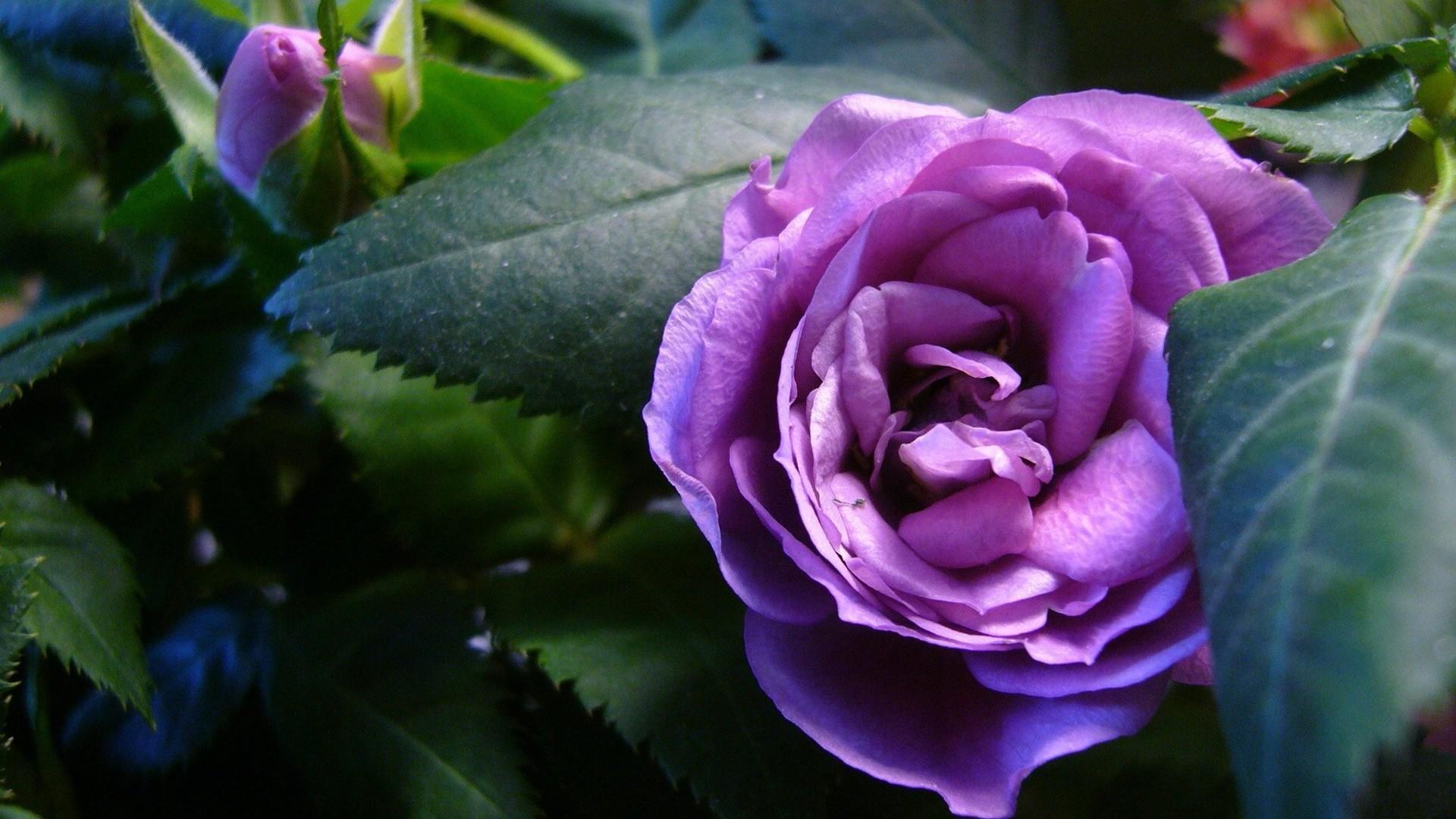Beautiful Purple Roses Wallpapers Wallpapersafari